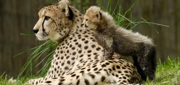 www.smithsonianmag.com Best-Mother-Animal-Cheetah-631.jpg__800x600_q85_crop