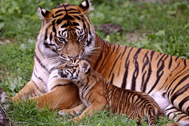 www.superbwallpapers.com tiger-with-cub-5562-1920x1200