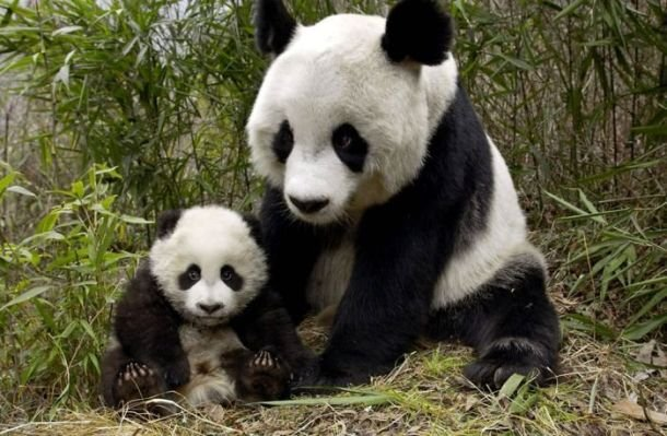 xaxor.com panda-animal-parents-part3-10