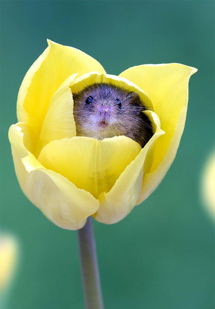 cute harvest mice in tulips miles herbert 4 5ad0977cdbf5f  7.jpg?resize=412,232 - Ces rats des moissons nichés dans des tulipes sont la chose la plus adorable que vous verrez aujourd'hui