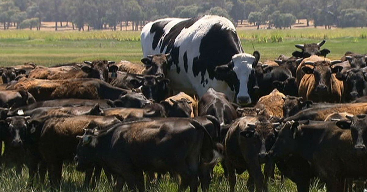 featured image 1.jpg?resize=412,232 - Farmer Reveals Massive Diet Of 'Knickers' – The Giant Cow Breaking The Internet