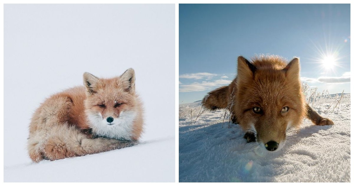 fox.jpg?resize=412,232 - Russian Photographer Ivan Kislov Spends His Breaks Taking Photos Of Foxes In The Arctic Circle
