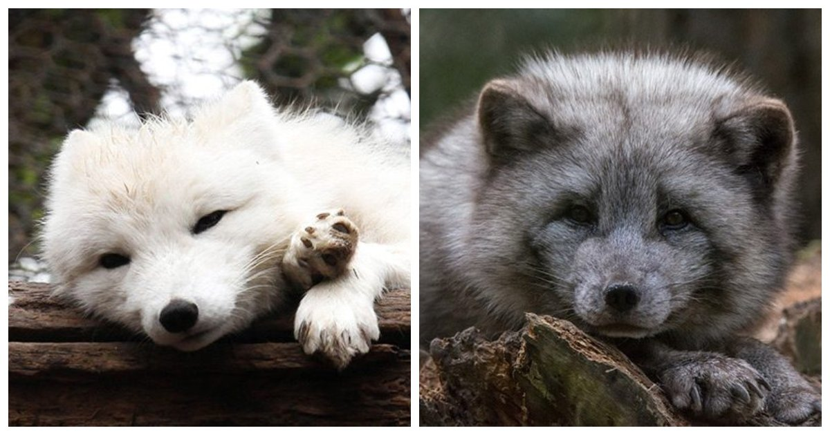 foxes1.jpg?resize=1200,630 - 25 Little Known Facts About Arctic Foxes