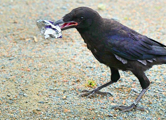 img 5c058a4bf262e.png?resize=412,232 - Pour lutter contre les déchets, ce parc à thème français a employé des corbeaux