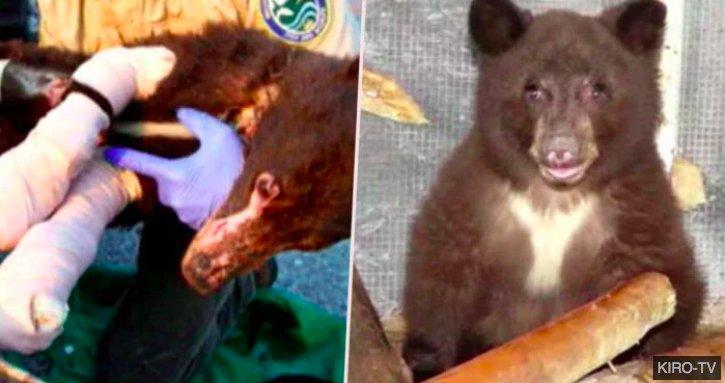 img 5c1bd0f6de56c.png?resize=1200,630 - Un ours qui s'est remis de brûlures causées par un feu de forêt a été tué par un chasseur