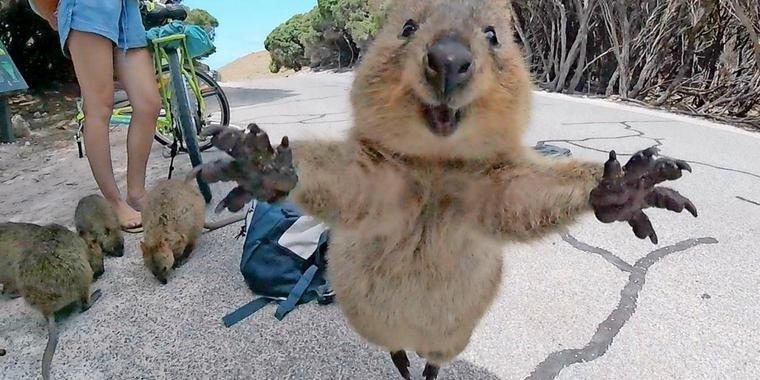 mann gelingt das wohl suesseste quokka foto big teaser article.jpg?resize=1200,630 - 史上最上鏡的動物!「Quokka」短尾矮袋鼠超萌超可愛,超愛跟遊客自拍是怎麼回事!