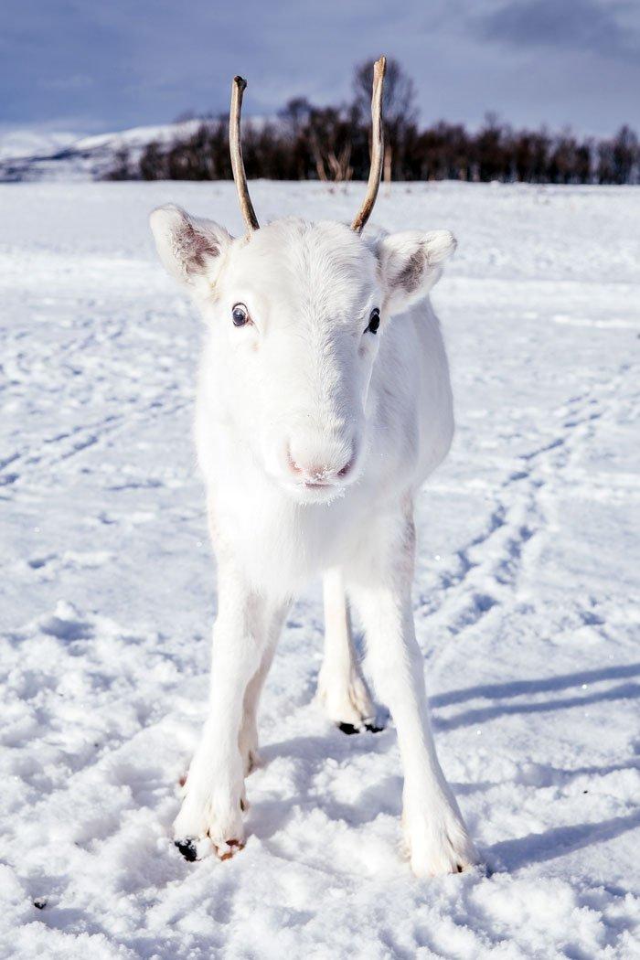rare white baby reindeer norway 2 5c05356601eb0  700.jpg?resize=412,232 - Ce photographe rencontre un bébé renne blanc extrêmement rare lors d'une randonnée en Norvège