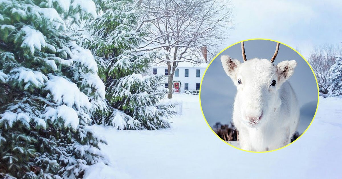 reindeer.jpg?resize=412,232 - Rare White Reindeer Calf That Blends Into The Snow Spotted In Northern Norway