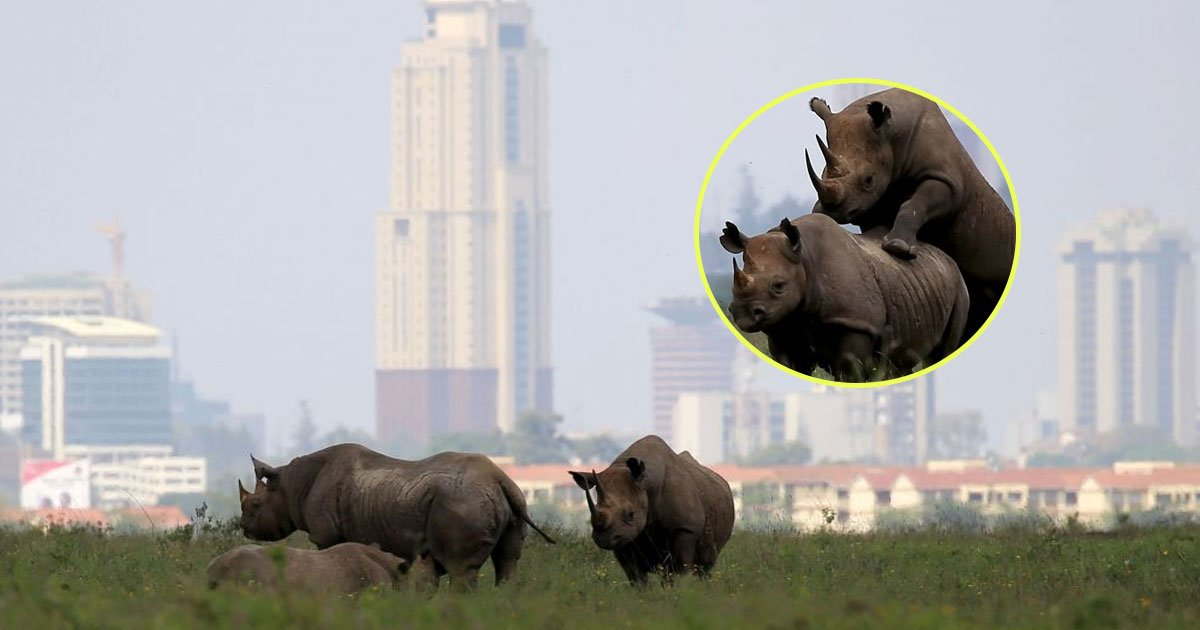 rhinos mating.jpg?resize=412,232 - Hilarious Pictures Of Two Rhinos Mating In Front Of Nairobi Skyscrapers