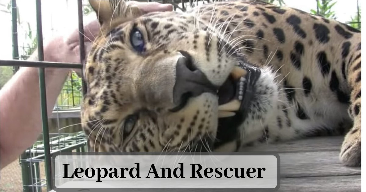 s4 6.png?resize=412,232 - After Being Rescued From a Tortured Life, The Big Cat Responds to a Pet With Sounds of Acceptance