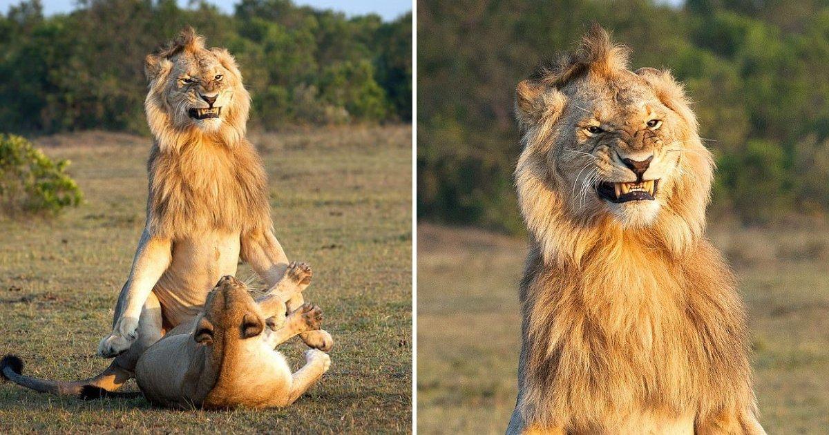 untitled design 7 1.png?resize=412,232 - Ce lion photographié en train de s'accoupler a l'air très satisfait