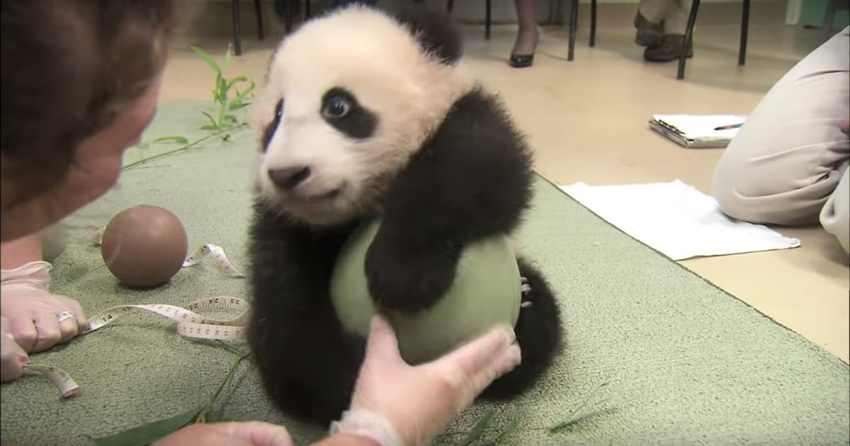 a 1.jpg?resize=1200,630 - Adorable Panda Cub Gets New Favorite Toy, Refuses To Let Go Of It No Matter What