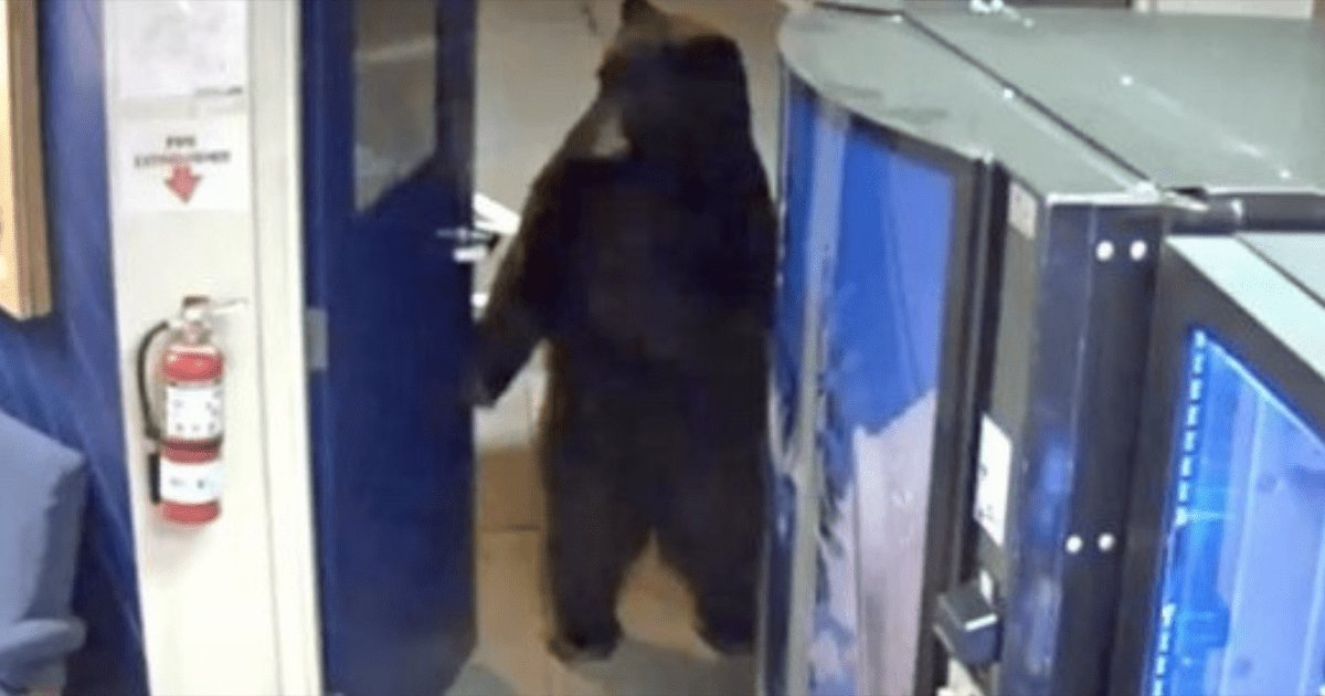 aa.png?resize=412,275 - Bear Turns Doorknob and Walks Right Into Police Station On Two Hind Legs In California