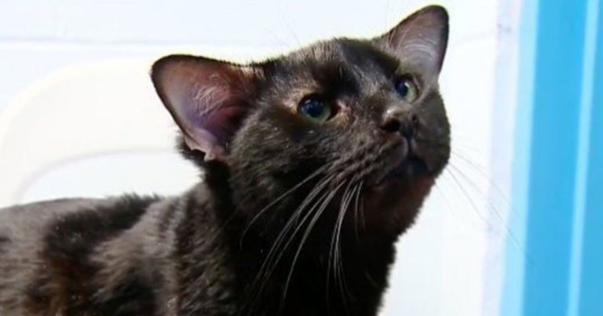 batman3.png?resize=300,169 - Batman the Cat Has A Pair of Extra Ears and He's Taking the Internet By Storm
