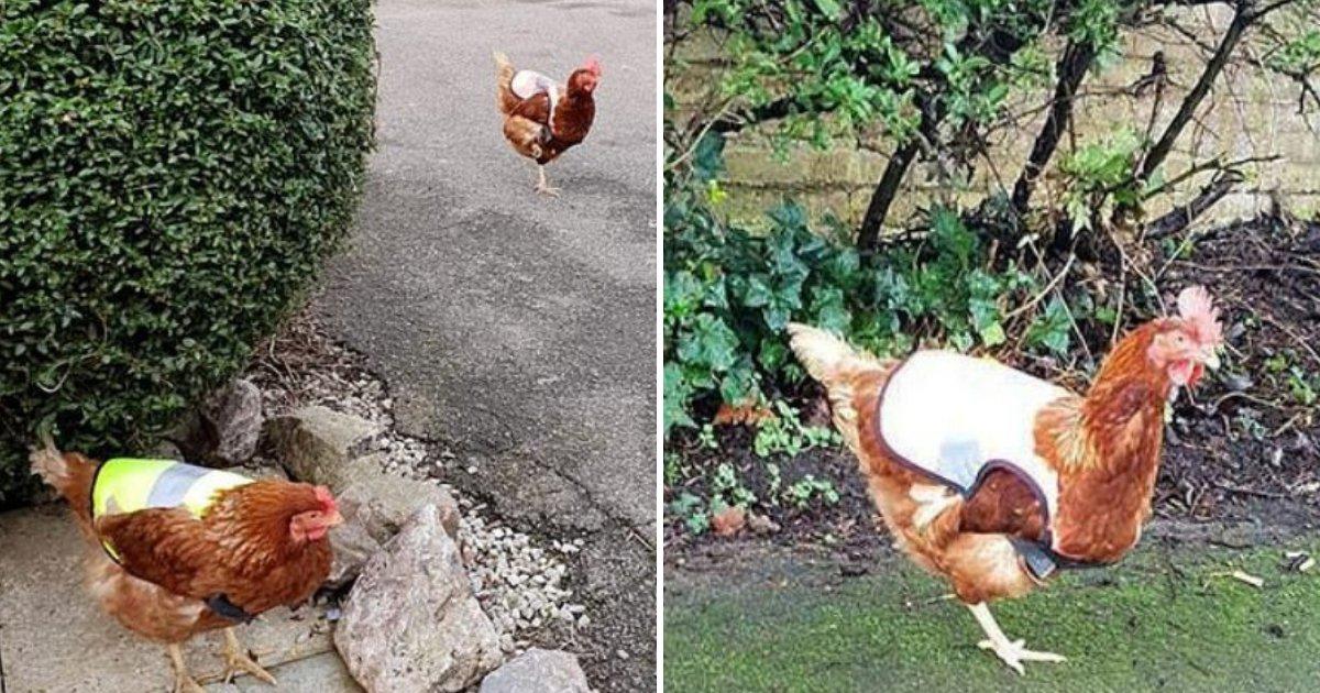 chicken5.png?resize=366,290 - Deux poulets assidus reçoivent des gilets de sécurité afin de pouvoir effectuer leurs tâches nocturnes