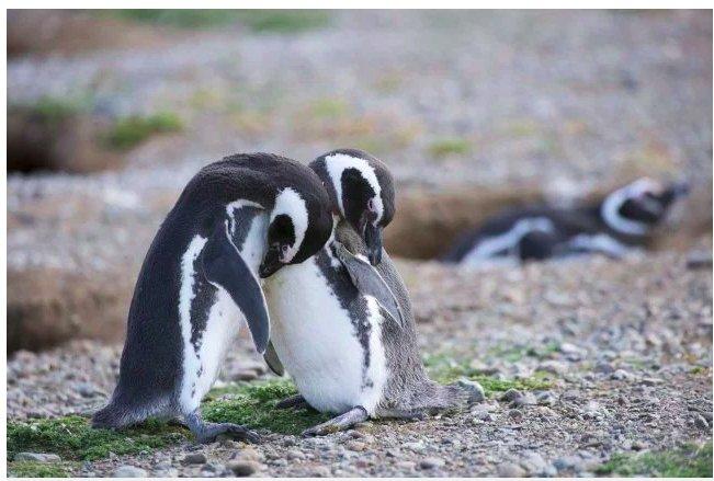 img 5c3661a2c66e0.png?resize=1200,630 - Les pingouins se séparent de leurs partenaires pour l'hiver mais restent fidèles