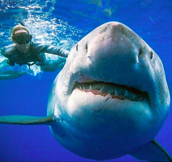 img 5c4370afefd43.png?resize=300,169 - Hawaï : Cette plongeuse nage avec l'un des plus grands requins blancs du monde