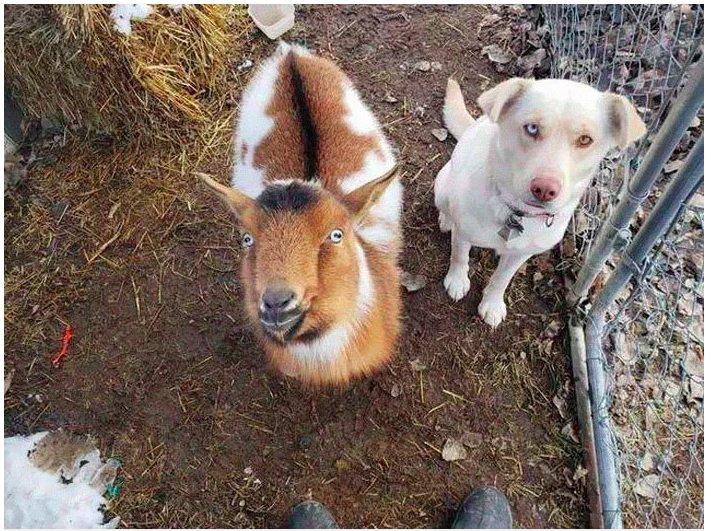img 5c484e7d0930c.png?resize=412,232 - Un chien perdu rentre à la maison....et ramène avec lui un autre chien ainsi qu'une chèvre.