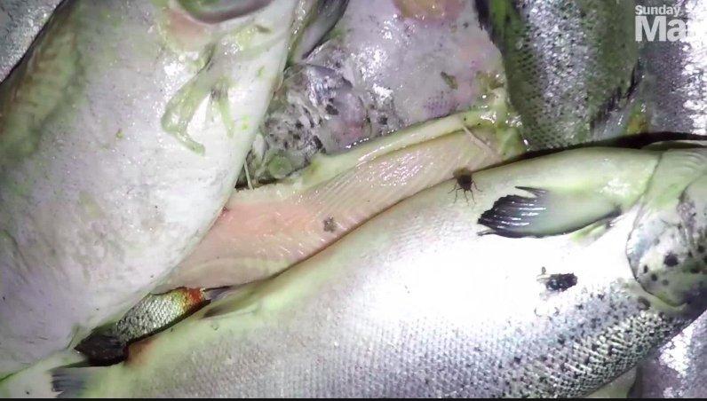 img 5c50df4113c97.png?resize=1200,630 - Le saumon d'élevage industriel est rempli de maladies et de produits chimiques dangereux