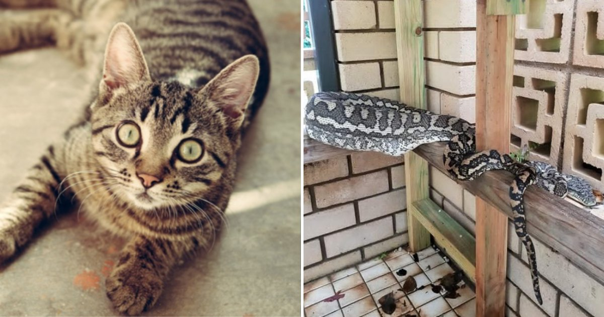 kitty3.png?resize=412,232 - Family Horrified and Devastated To See Snake Wolfing Their Pet Cat
