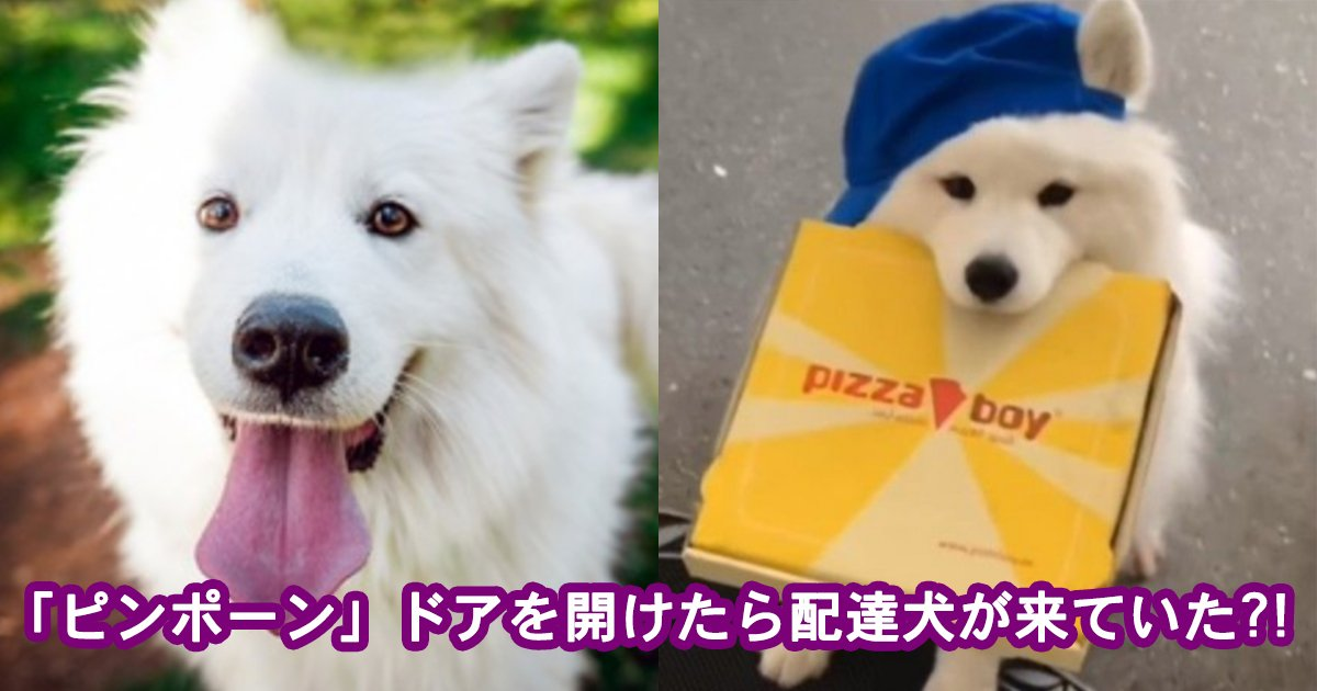 samoedo.jpg?resize=412,232 - 【超癒し】「ピンポーン」と荷物を届けきたサモエドの配達犬が激カワすぎる!!
