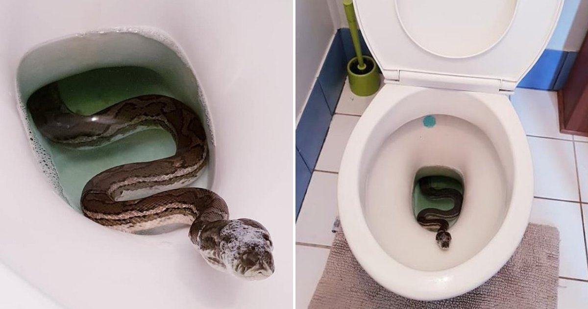 snake4.png?resize=1200,630 - Man Shocked To Find HUGE Carpet Python Relaxing In His Toilet Bowl