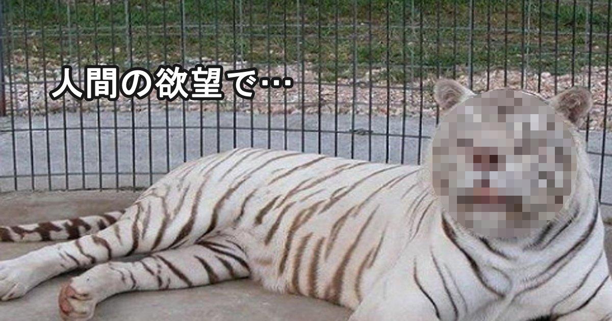 tora 2.jpg?resize=412,232 - 人間の欲により近親交雑され、障害を持って生まれた白い虎