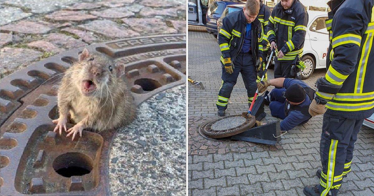53 4.png?resize=300,169 - 맨홀에 끼인 '생쥐'를 소방관들이 필사적으로 구해낸 이유 (영상)