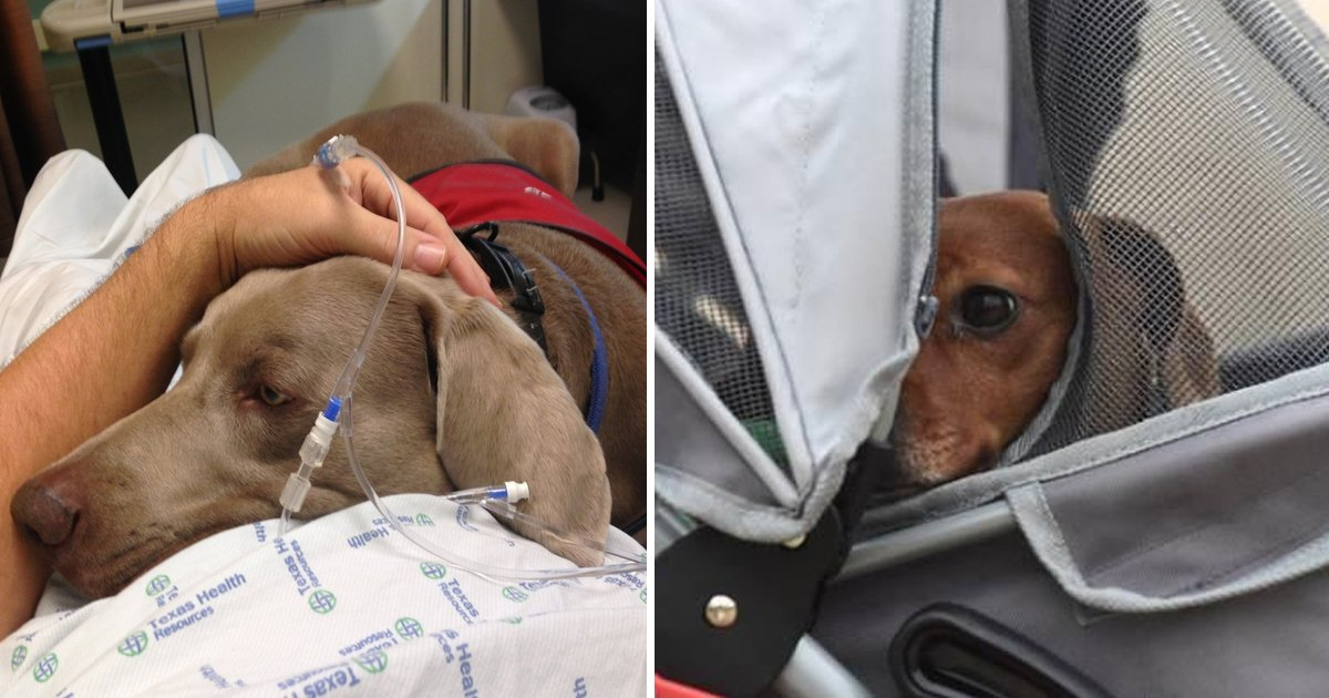 bgdfdg.jpg?resize=300,169 - Le dernier souhait d'une femme mourante de voir son chien était contre les règles de l'hôpital - Découvrez comment son mari fait passer le chien clandestinement dans sa chambre