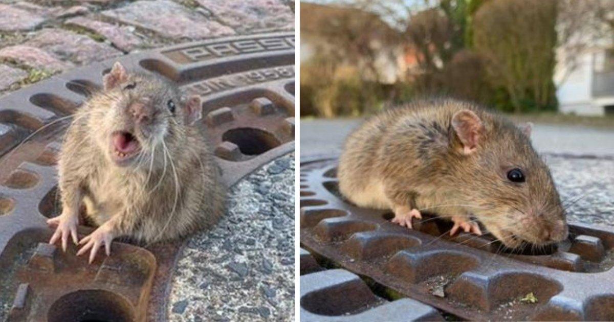 d1 18.png?resize=1200,630 - Un rat obèse coincé dans une bouche d'égout doit être secouru par une équipe de pompiers