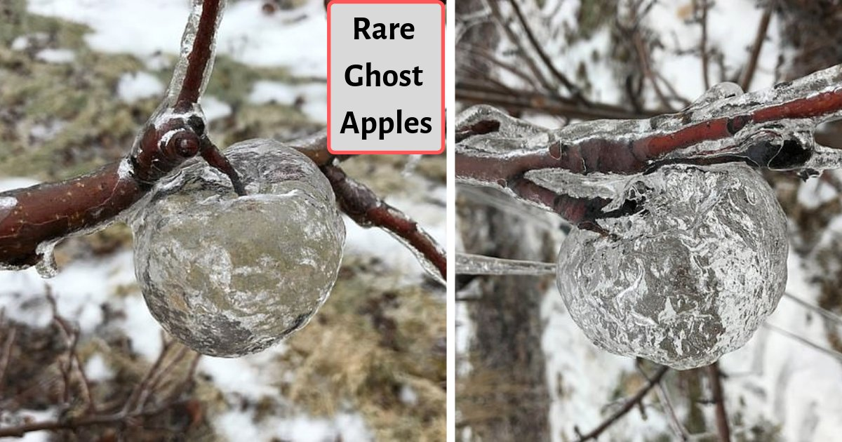 """d2 8.png?resize=412,232 - Michigan Farmers Have Grown """"Rare Ghost Apples"""" This Season"""