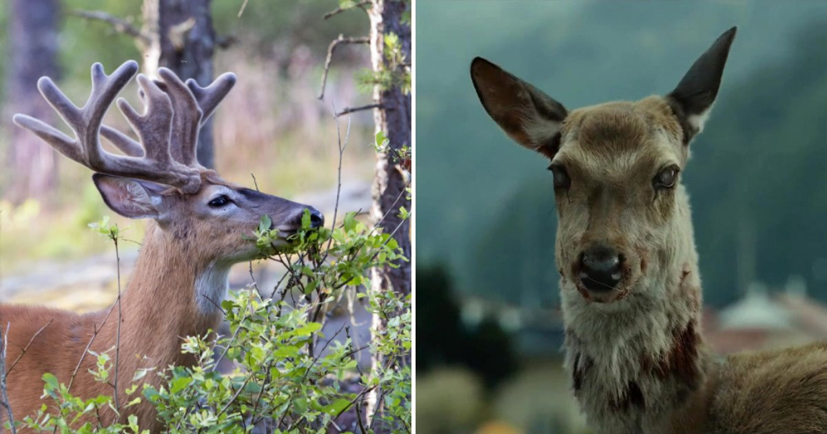 deer5.png?resize=412,232 - Deadly Infection That Turns Deer Into ZOMBIES Has Spread To 26 States