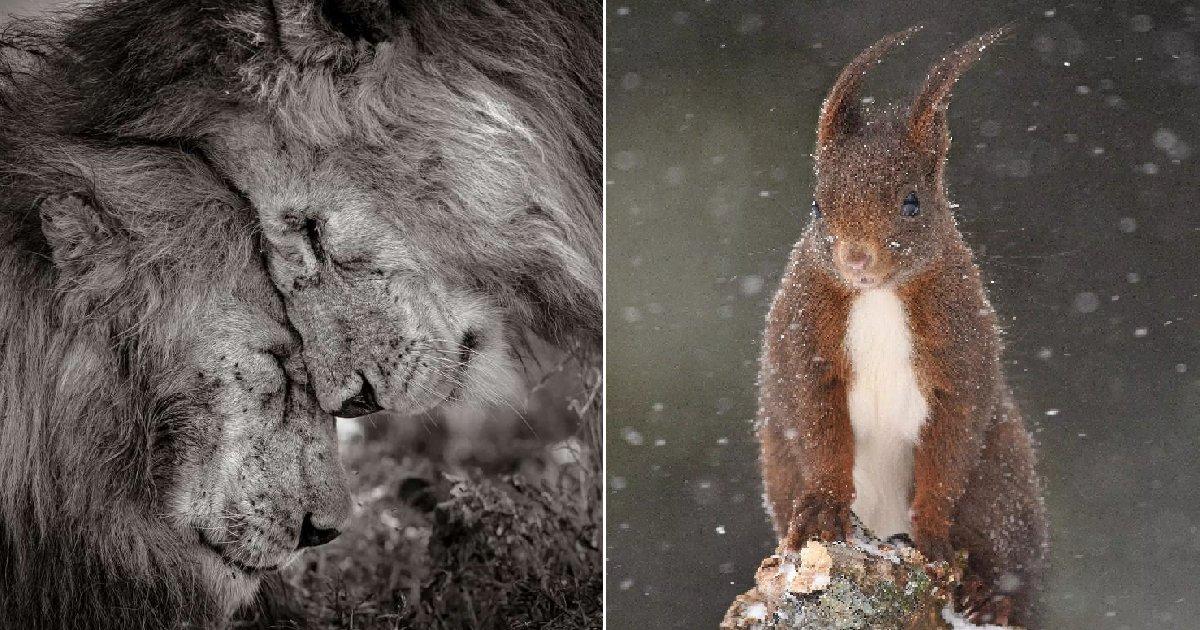 eca09cebaaa9 ec9786ec9d8c 62.png?resize=412,232 - (사진) 올해의 야생동물 사진 출품작들... 1등은 '사자의 형재애'