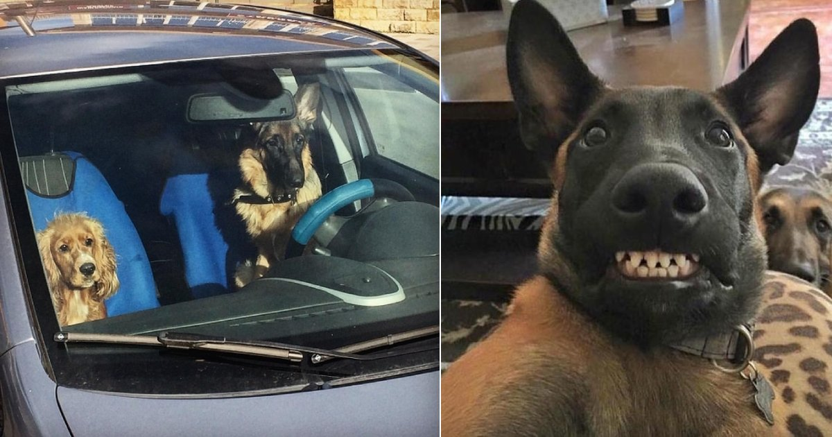 own a german sheperd.png?resize=412,232 - 15 Hilarious Reasons Why You May Want To Get A German Shepherd