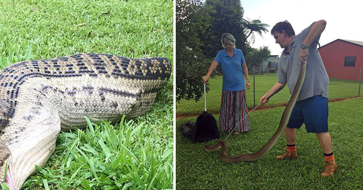 python eats wallaby.jpg?resize=412,232 - Man Found A 13-Foot Python Chasing His Dog After Eating A Wallaby In His Backyard