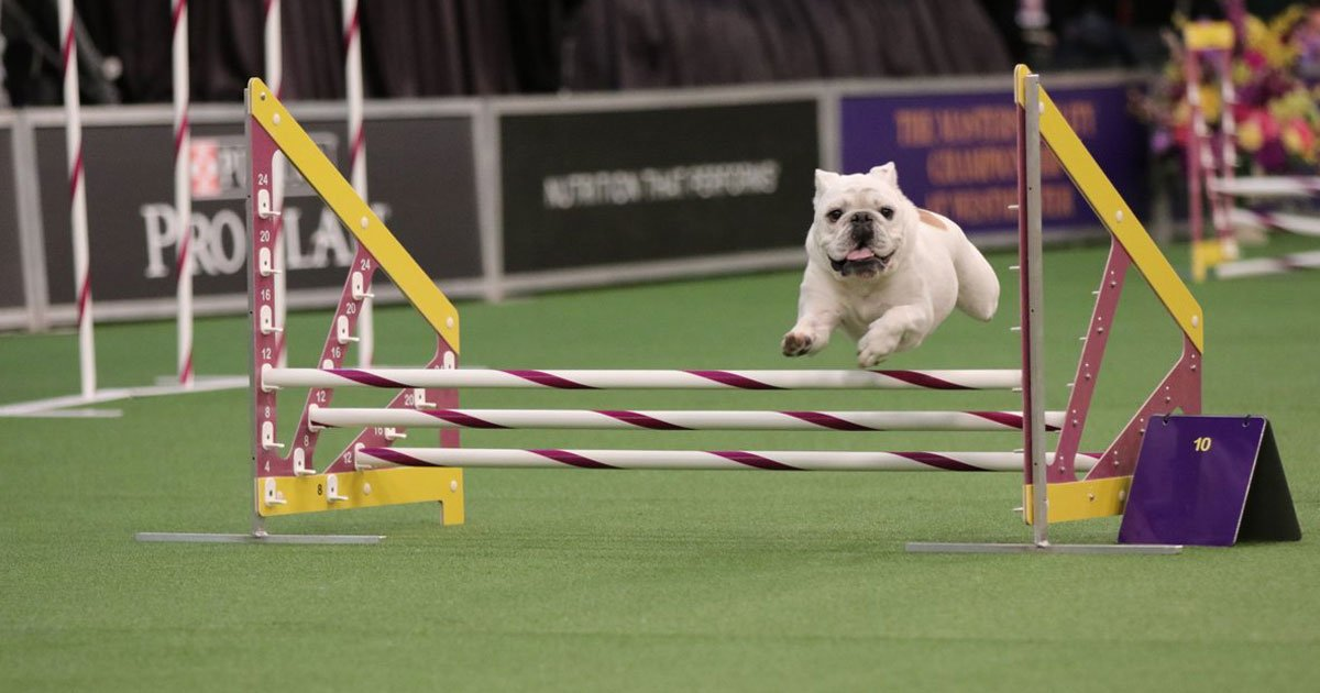 rudy the bulldog.jpg?resize=412,232 - Rudy The Bulldog Leaves Everyone Stunned At The Westminster Agility Contest