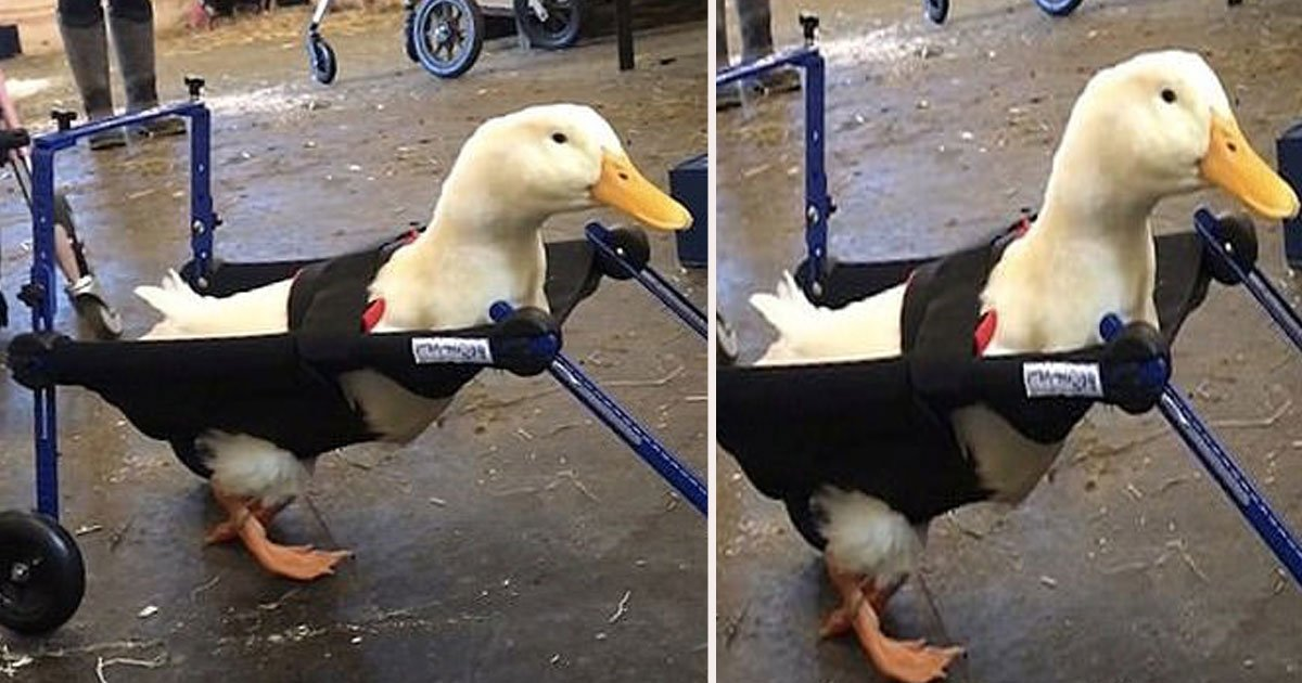 untitled 1 57.jpg?resize=412,232 - A Duck Born With A Lame Left Leg Is Now Waddling Around With The Help Of A Specially Designed Miniature Wheelchair