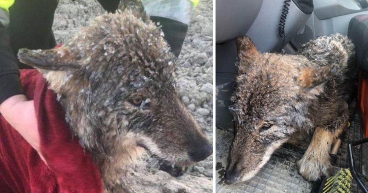 untitled design 1 4.png?resize=1200,630 - Citizens of Estonia Accidentally Rescued A Wild Wolf Thinking It Was A Dog