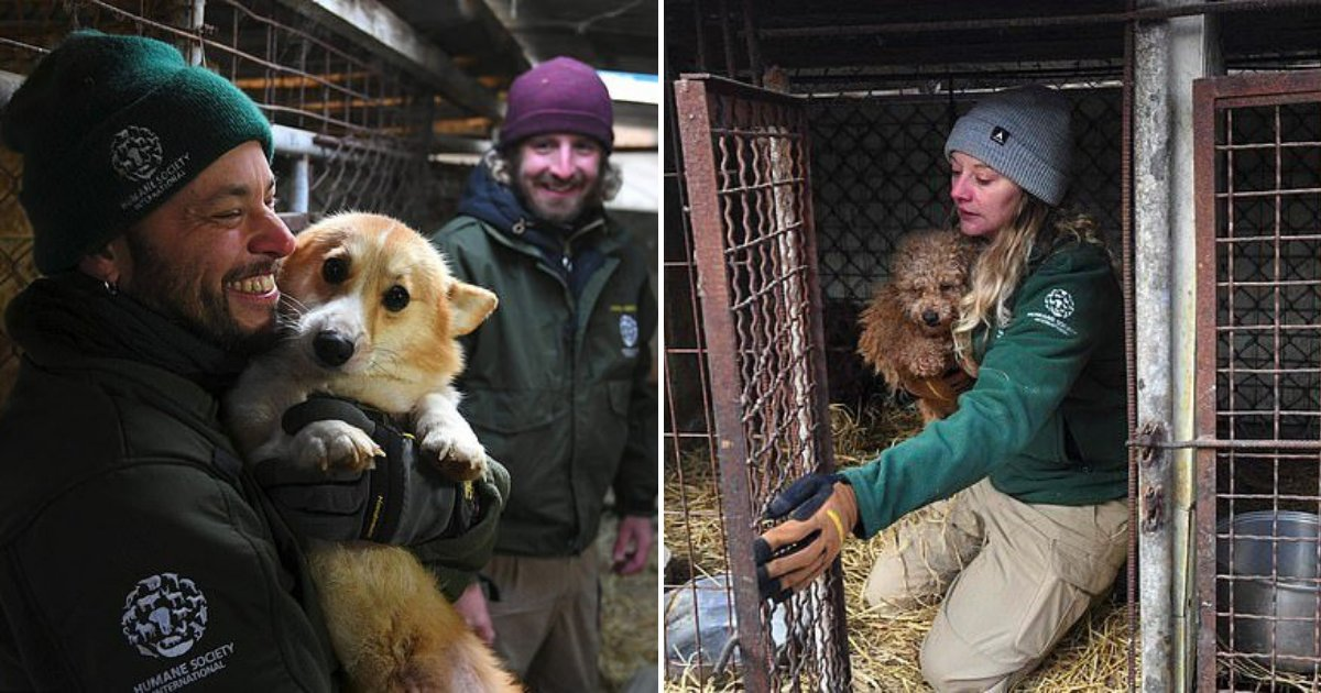 untitled design 19.png?resize=412,232 - Hundreds Of Dogs Successfully Rescued From Farms By Hardworking Rescuers