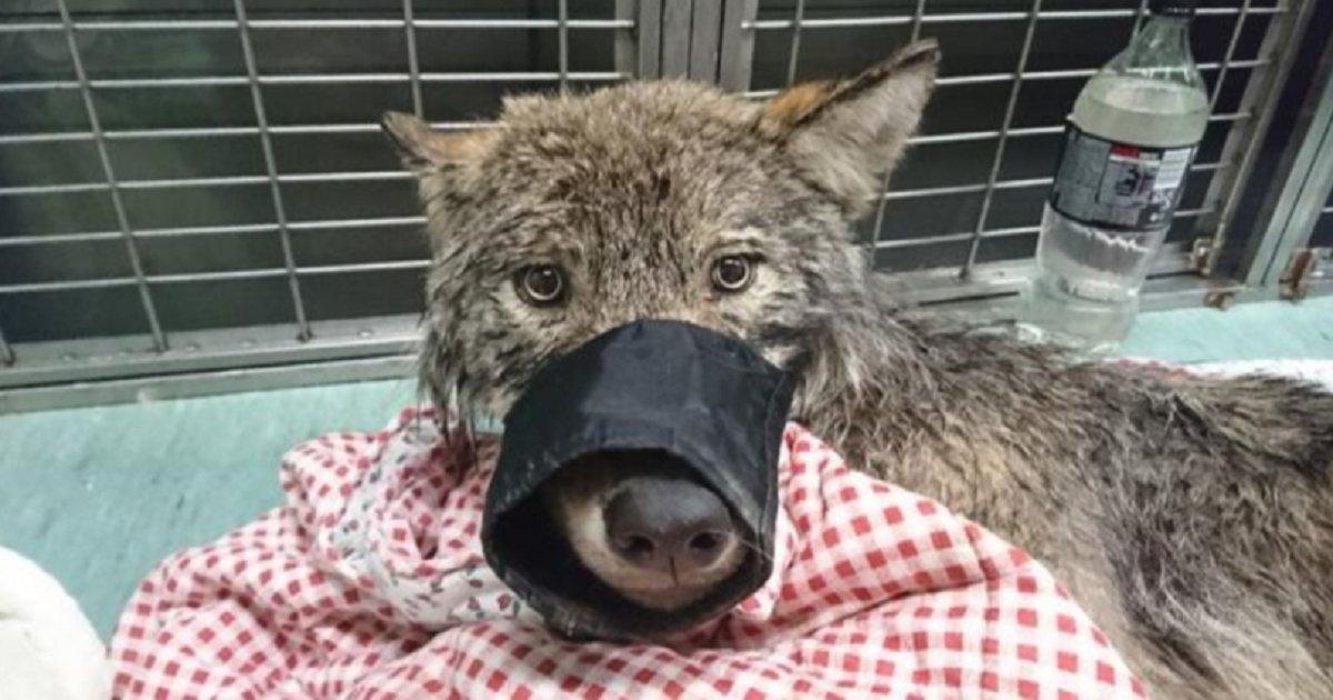 w3.png?resize=300,169 - Des hommes ont été choqués de découvrir que le «chien» qu'ils ont sauvé d'une rivière gelée est en réalité un loup