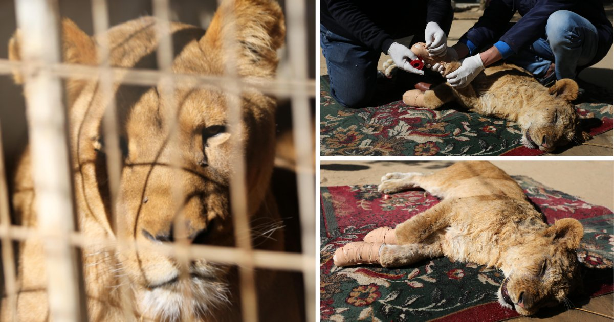 y3 8.png?resize=412,232 - A Zoo In Gaza Ripped Off the Claws of A Lion Cub So That Children Can Play With Them