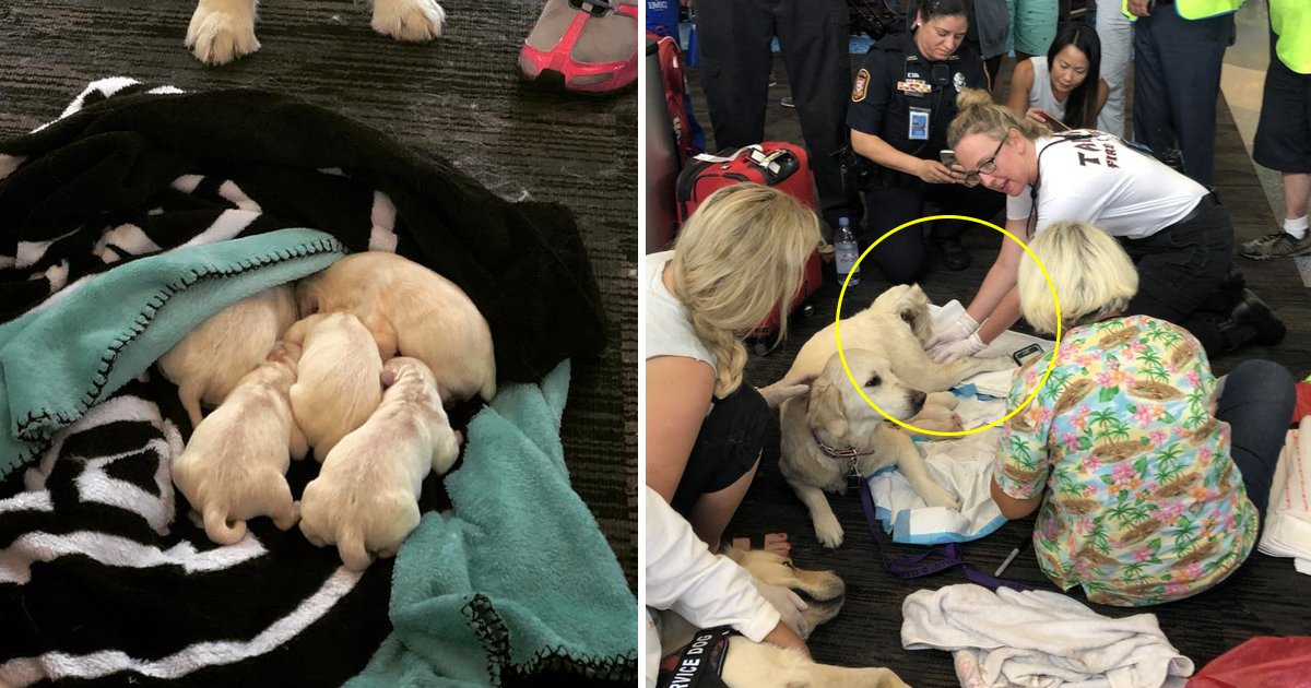 1200x630 recovereddfsfdsfs.jpg?resize=1200,630 - Heart-warming Moment When A Labrador Becomes The Mother Of Eight Little Puppies At Tampa Airport!