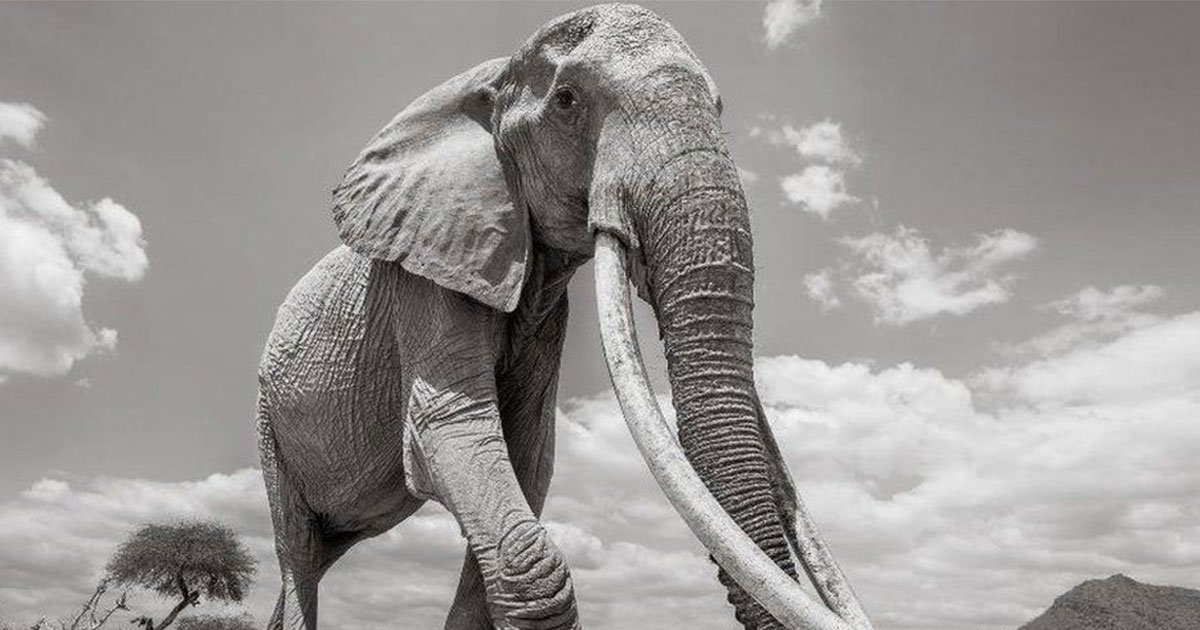 awe inspiring last pictures of kenyas elephant queen who died aged 60.jpg?resize=1200,630 - Last Pictures Of Kenya's 'Elephant Queen'