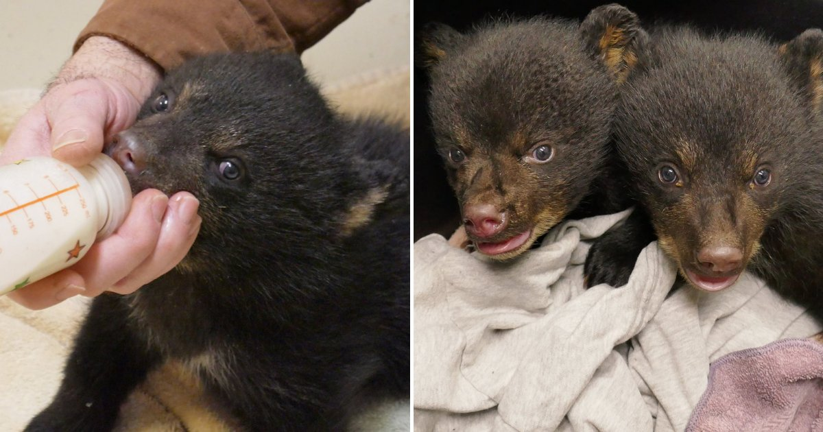 bears2.png?resize=1200,630 - Tiny Bear Cubs Trapped Inside Flooded Den Wail For Help, Deputies Came To The Rescue