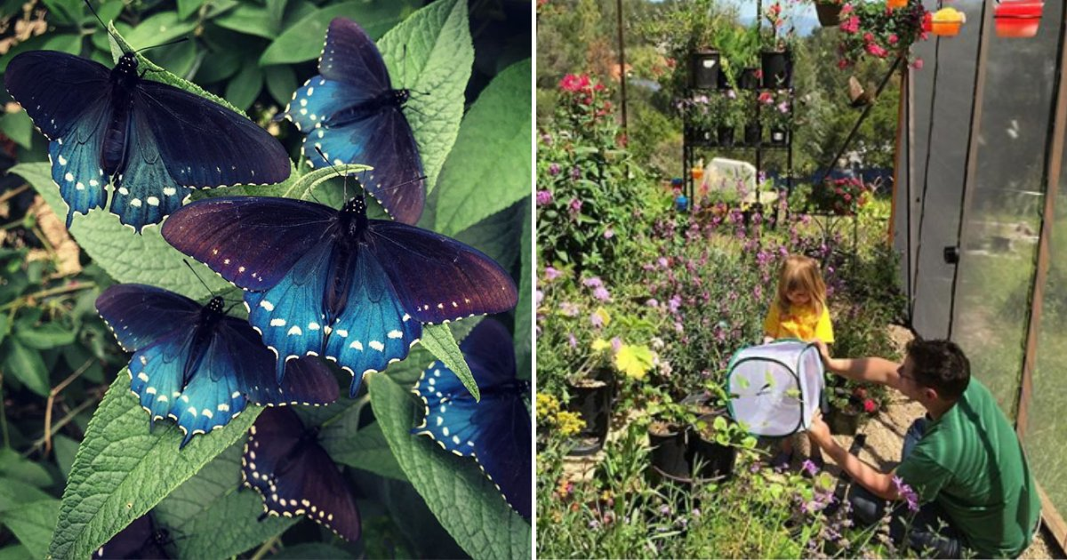 butterflies3.png?resize=1200,630 - Young Man Repopulates RARE Butterfly Species In His Own Backyard