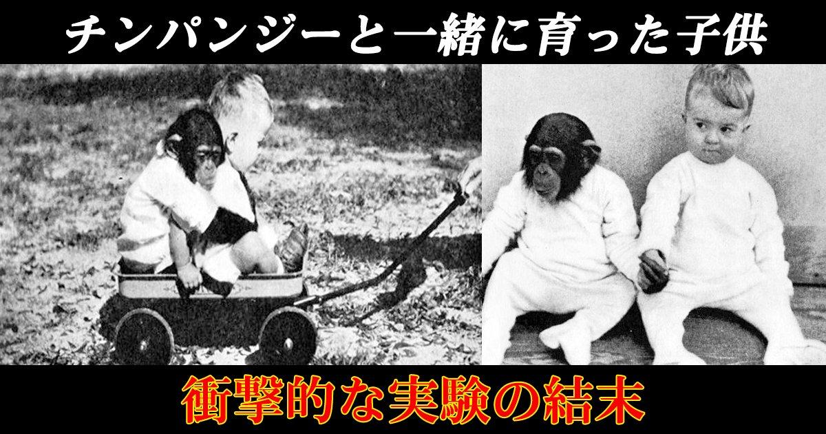 chinpan th.png?resize=1200,630 - チンパンジーと一緒に育った子供。衝撃的な実験の結末とは!?