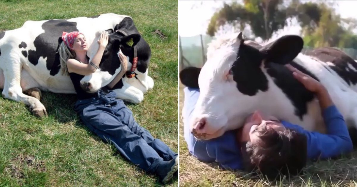 cows.png?resize=412,232 - Cow Cuddling Is Now A Thing And It Costs $300 For A 90-Minute Hugging Session