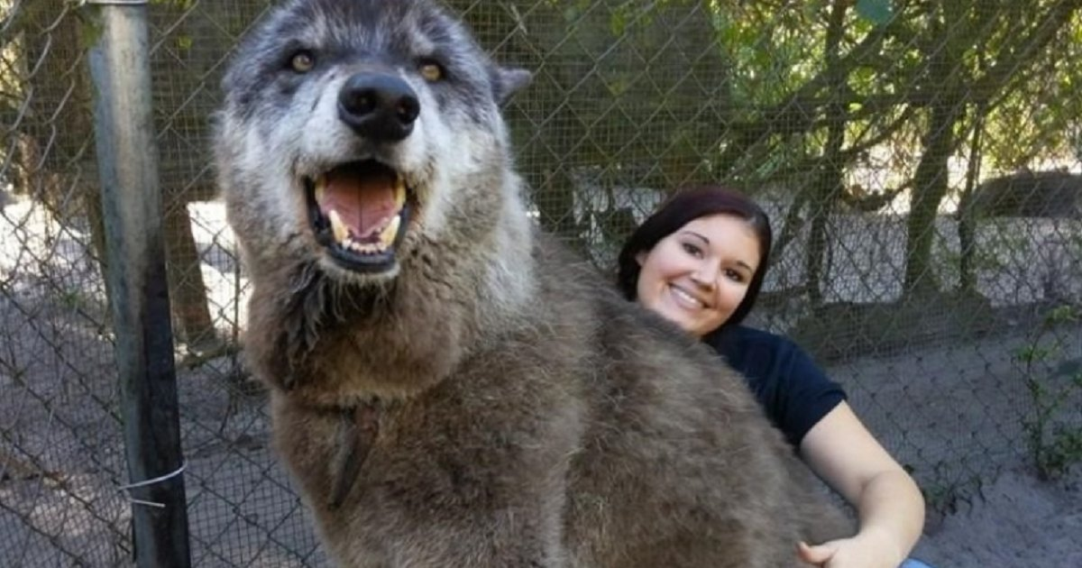 d3 3.png?resize=1200,630 - Wolf Dog Was Sent To Kill Shelter To Die But Found The Life And Love He Deserved Instead