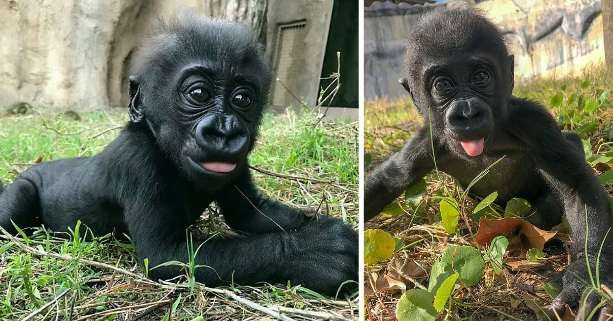 d3 4.png?resize=1200,630 - Five Month Old Gorilla is Breaking The Internet After She Posed For Camera By Taking Her Tongue Out