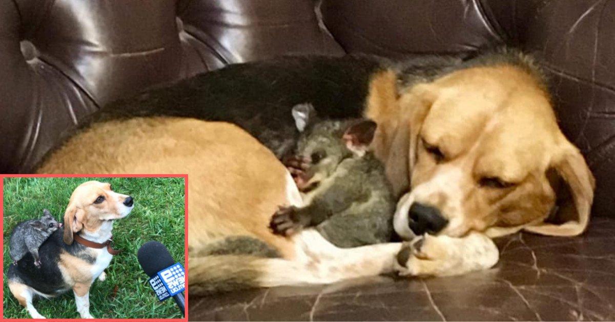 d5 10.png?resize=300,169 - Après la mort de ses chiots, une chienne adopte un bébé opossum